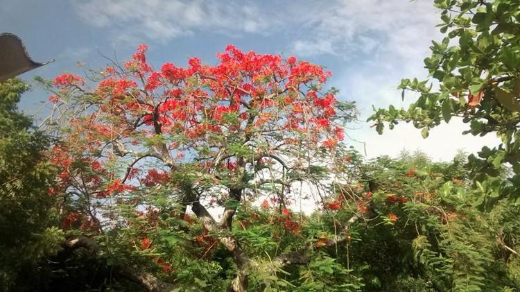 Historia de las acacias en Girardot